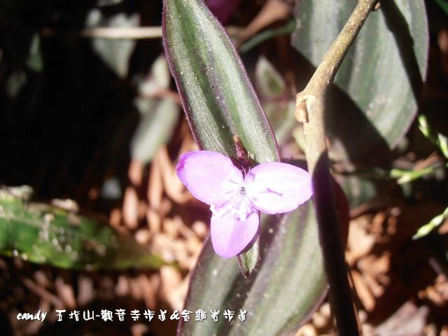 76-(鸭跖草科)紫錦草