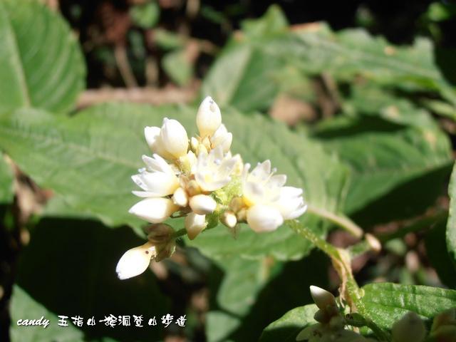 91-火炭母草