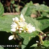 (蓼科)火炭母草