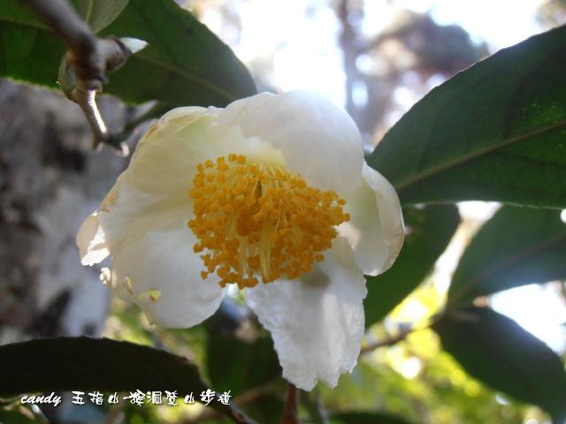 87-(山茶科)大頭茶