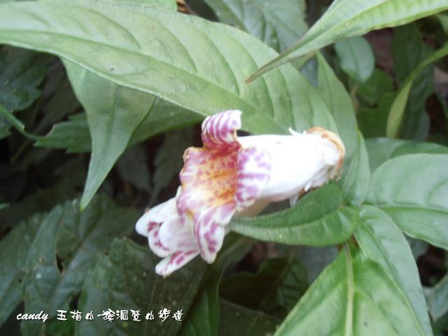 97-(苦苣苔科)角桐草(玲瓏草)