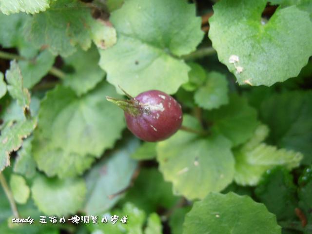 119-(桔梗科)普拉特草