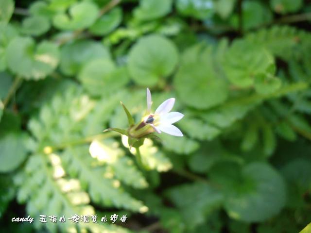118-(桔梗科普拉特草的花