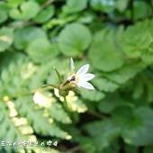 (桔梗科)普拉特草的花