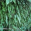 (腎蕨科)長葉腎蕨