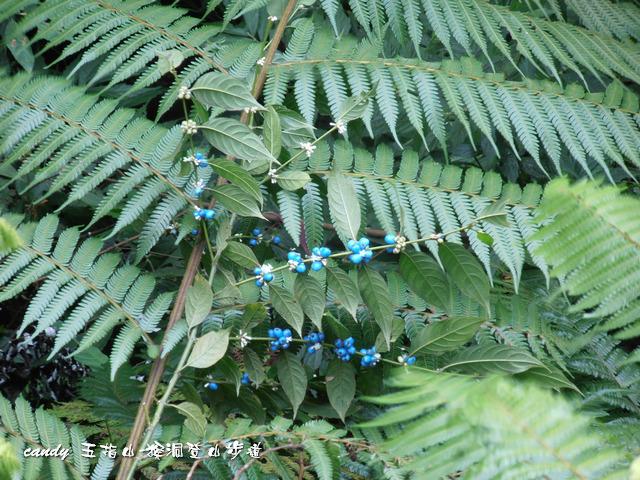 148-圓葉雞屎樹的果實