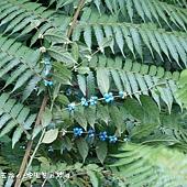 (茜草科)圓葉雞屎樹的果實