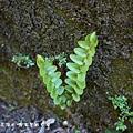 (腎蕨科)腎蕨嫩葉
