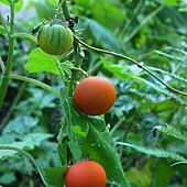 (茄科)刺茄