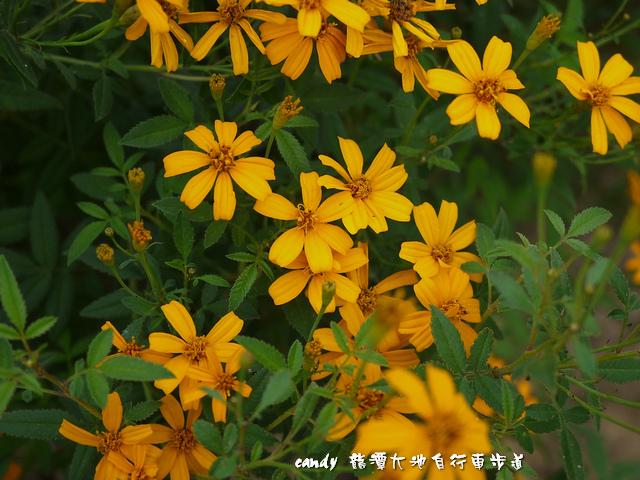 9- (菊科)芳香萬壽菊