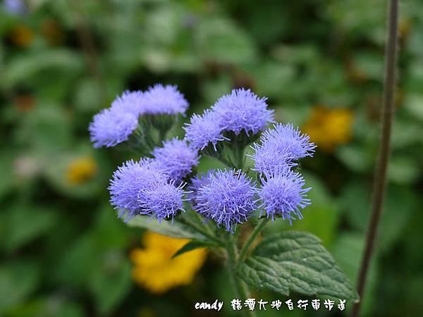 (菊科)紫花霍香薊