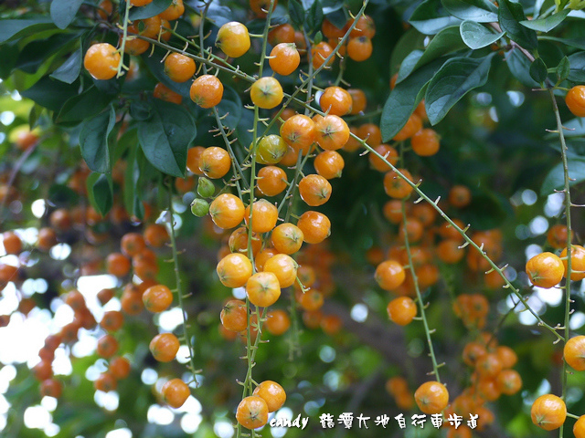 10-(馬鞭草科)金露花的種子