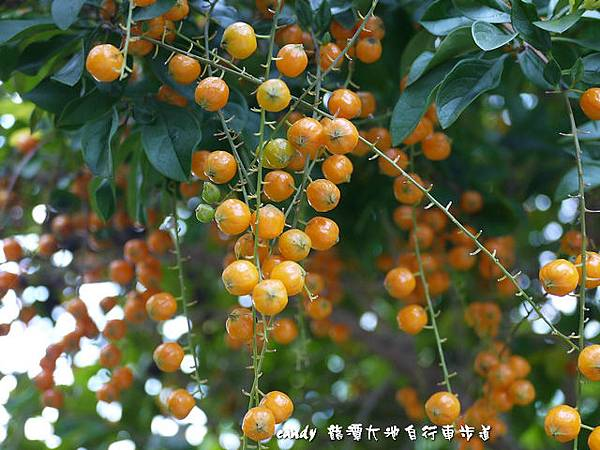 (馬鞭草科)金露花的種子
