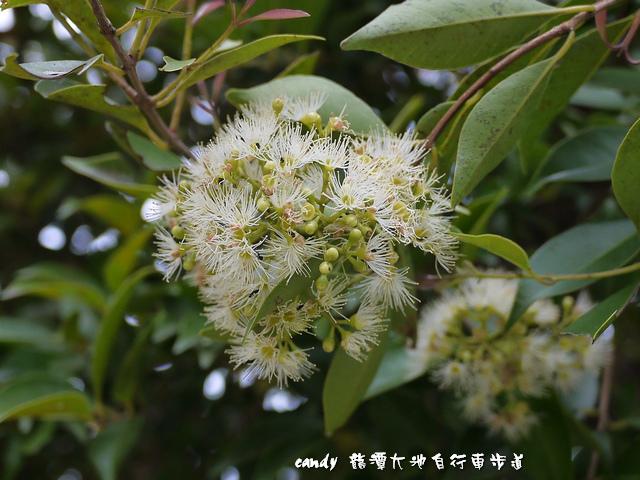 1-(大風子科)魯花樹