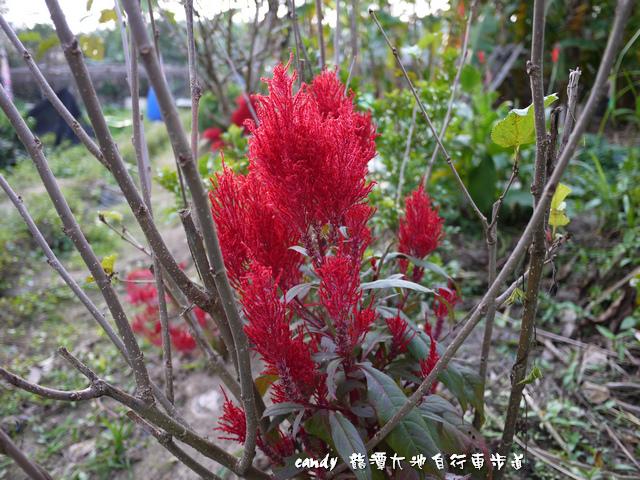 12-(莧科)羽狀雞冠花