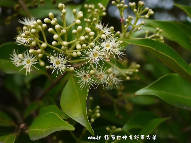 2-(大風子科)魯花樹