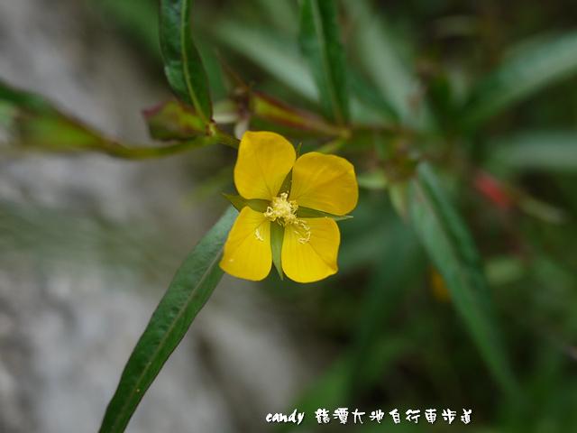 6-(柳葉菜科)水丁香