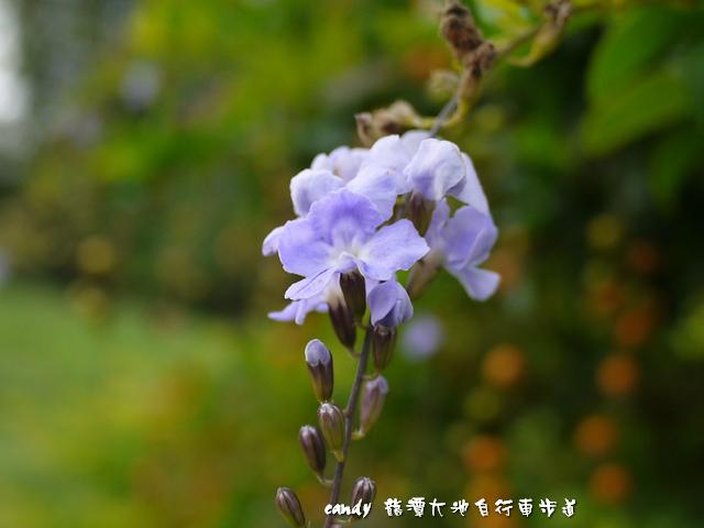 11-(馬鞭草科)金露花