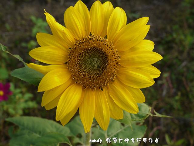 39-(菊科)向日葵