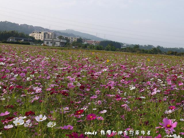 31-(菊科)大波斯菊