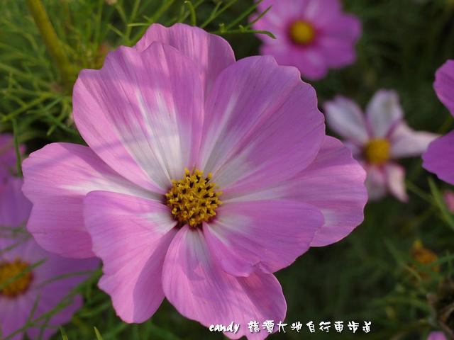 33-(菊科)大波斯菊