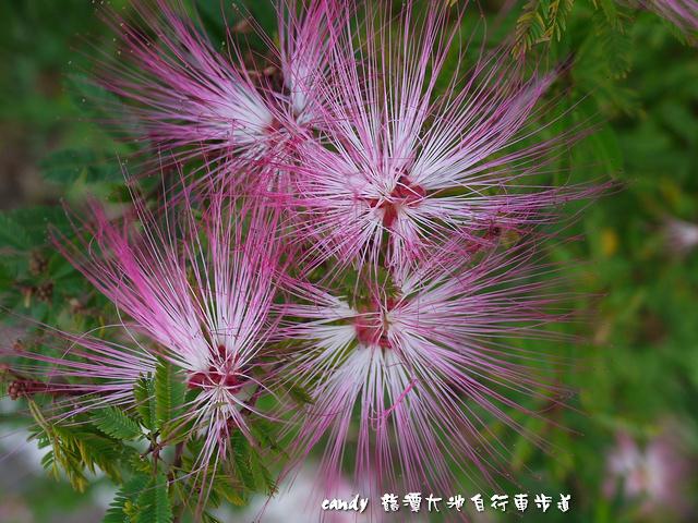 23-粉撲花(香水合歡)
