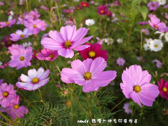 34-(菊科)大波斯菊