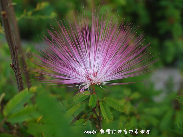 24-粉撲花(香水合歡)