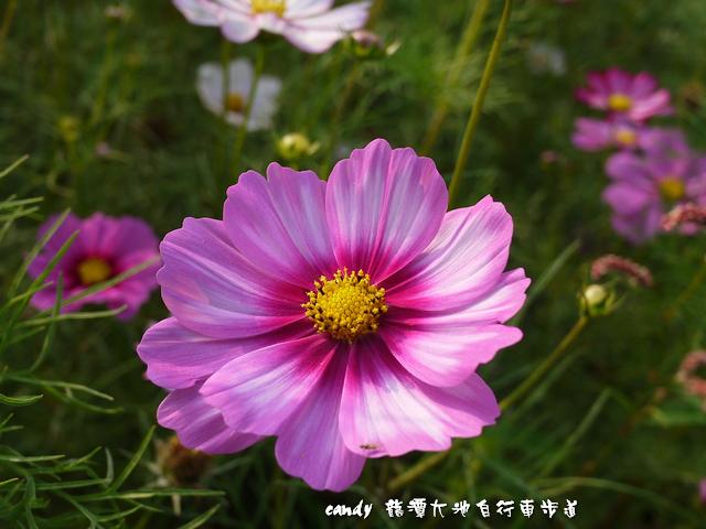 29-(菊科)大波斯菊