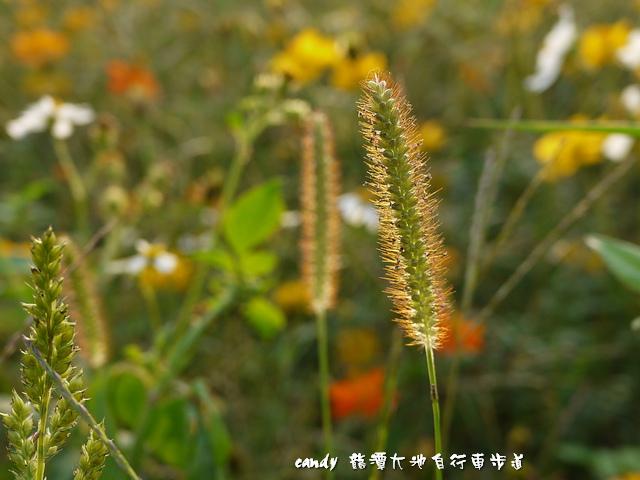 50-(禾本科)金色狗尾草