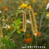 (禾本科)金色狗尾草