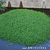 (小二仙草科)粉綠狐尾藻