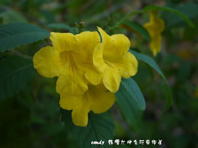 61-黃鐘花