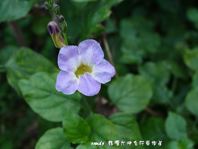 62-(爵床科)赤道櫻草