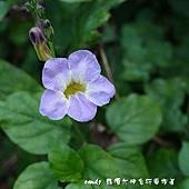 (爵床科)赤道櫻草