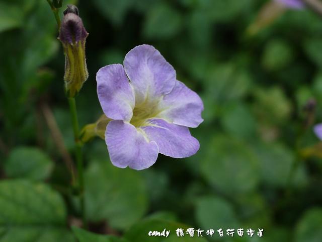 63-(爵床科)赤道櫻草