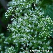 (菊科)小花蔓澤蘭