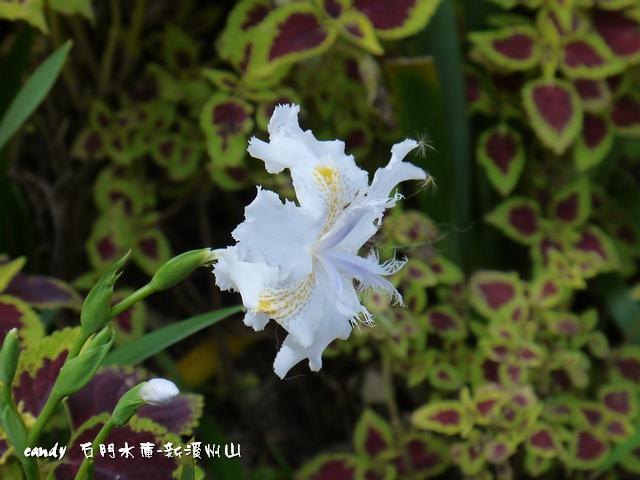 1-(鳶尾科)日本鳶尾花