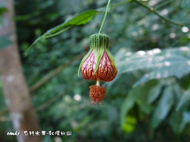 54-(錦葵科)風鈴花、燈籠花