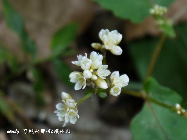 80-(蓼科)火炭母草