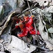 (薑科)三奈,台灣山薑