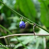 (百合科)桔梗蘭種子