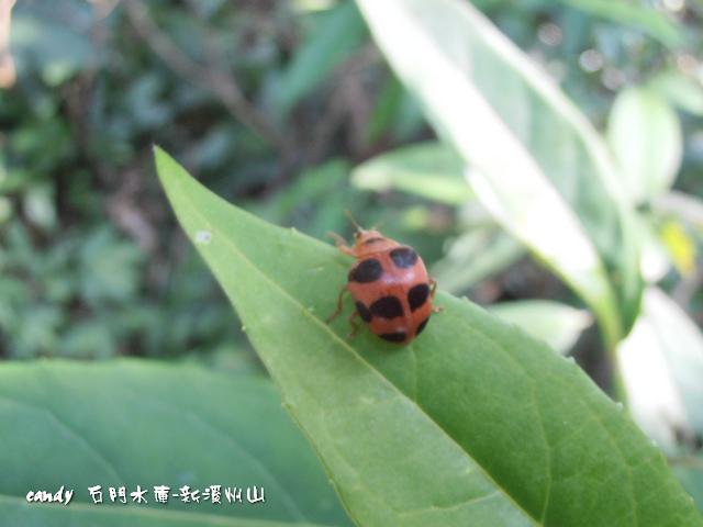 76-食植瓢蟲