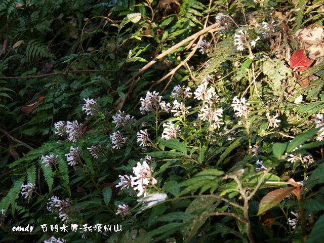 106-(茜草科)舌根草