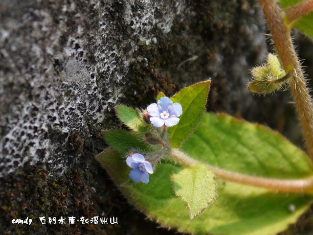 127-(紫草科)盾果草
