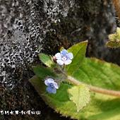 (紫草科)盾果草