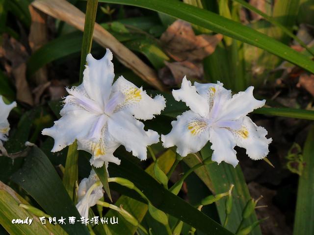 135-(鳶尾科)日本鳶尾花