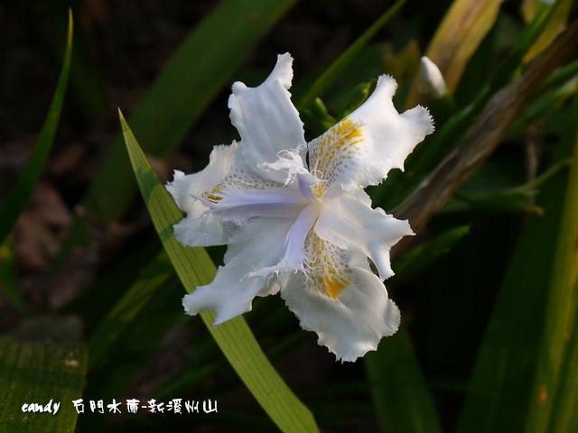 136-(鳶尾科)日本鳶尾花