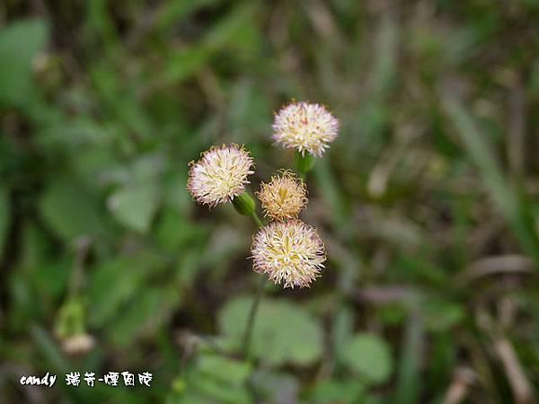 (菊科)紫背草屬粉黃纓絨花
