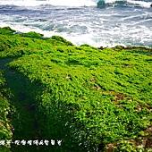 (石蓴科)石蓴海藻